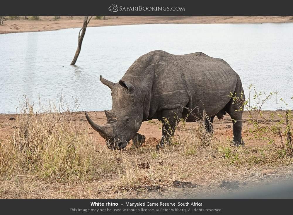 White rhino in Manyeleti Game Reserve, South Africa