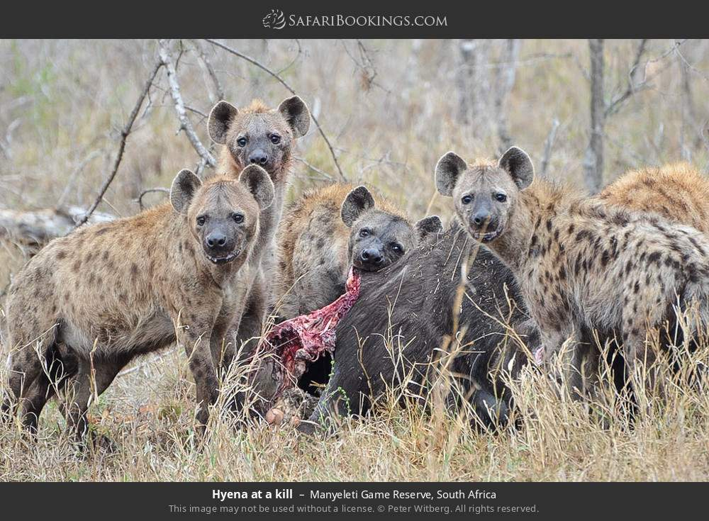 Hyena at a kill in Manyeleti Game Reserve, South Africa