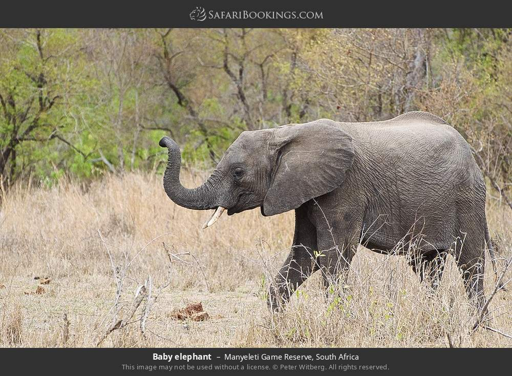 Baby elephant in Manyeleti Game Reserve, South Africa