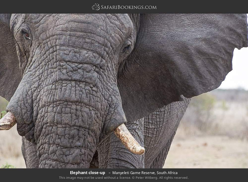 Elephant close-up  in Manyeleti Game Reserve, South Africa