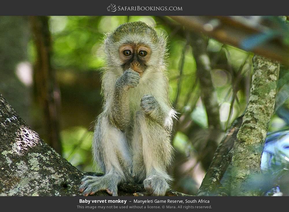 Baby vervet monkey in Manyeleti Game Reserve, South Africa