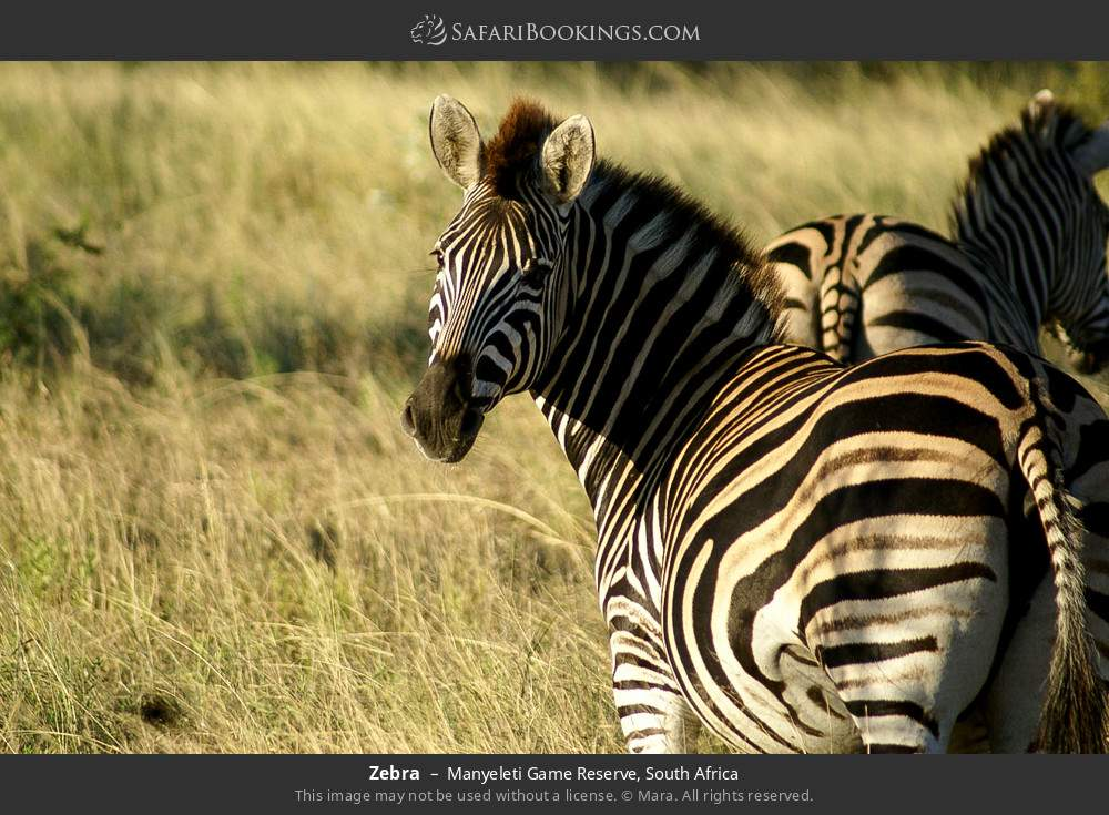 Zebra in Manyeleti Game Reserve, South Africa