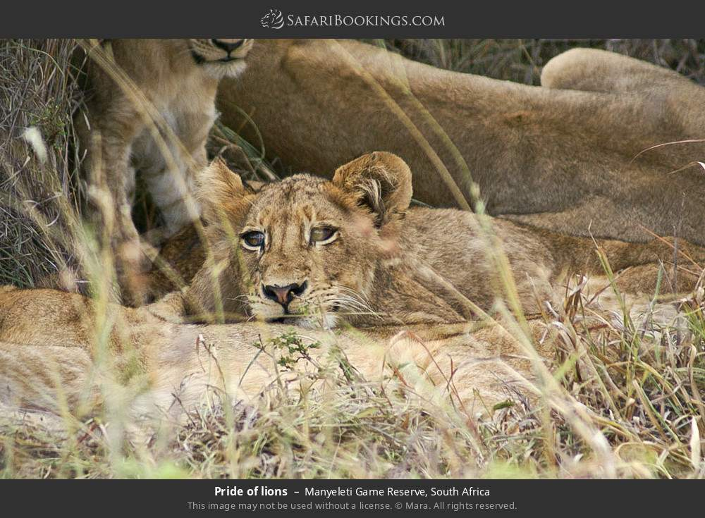 Pride of lions in Manyeleti Game Reserve, South Africa
