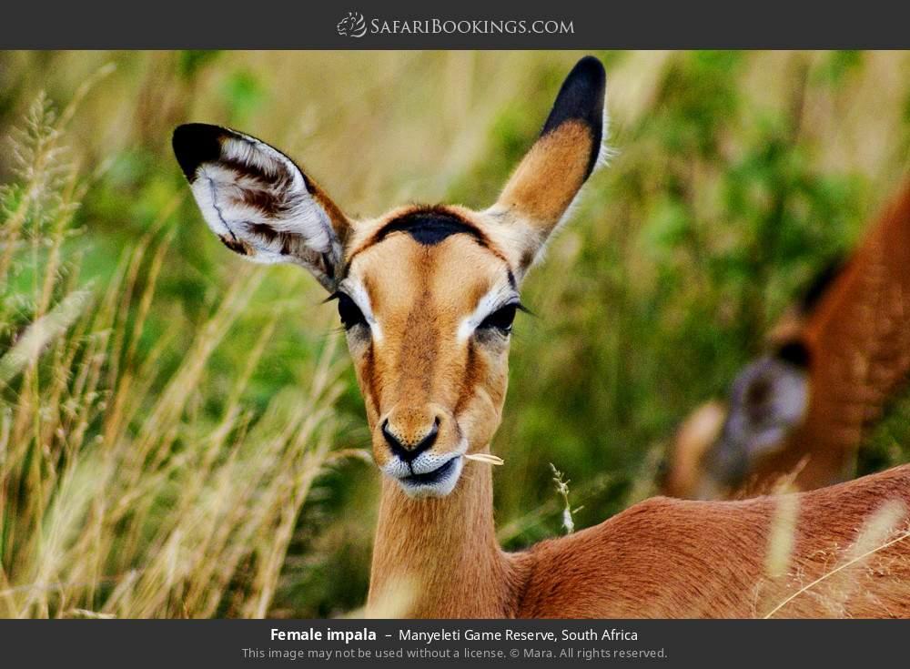Female impala in Manyeleti Game Reserve, South Africa