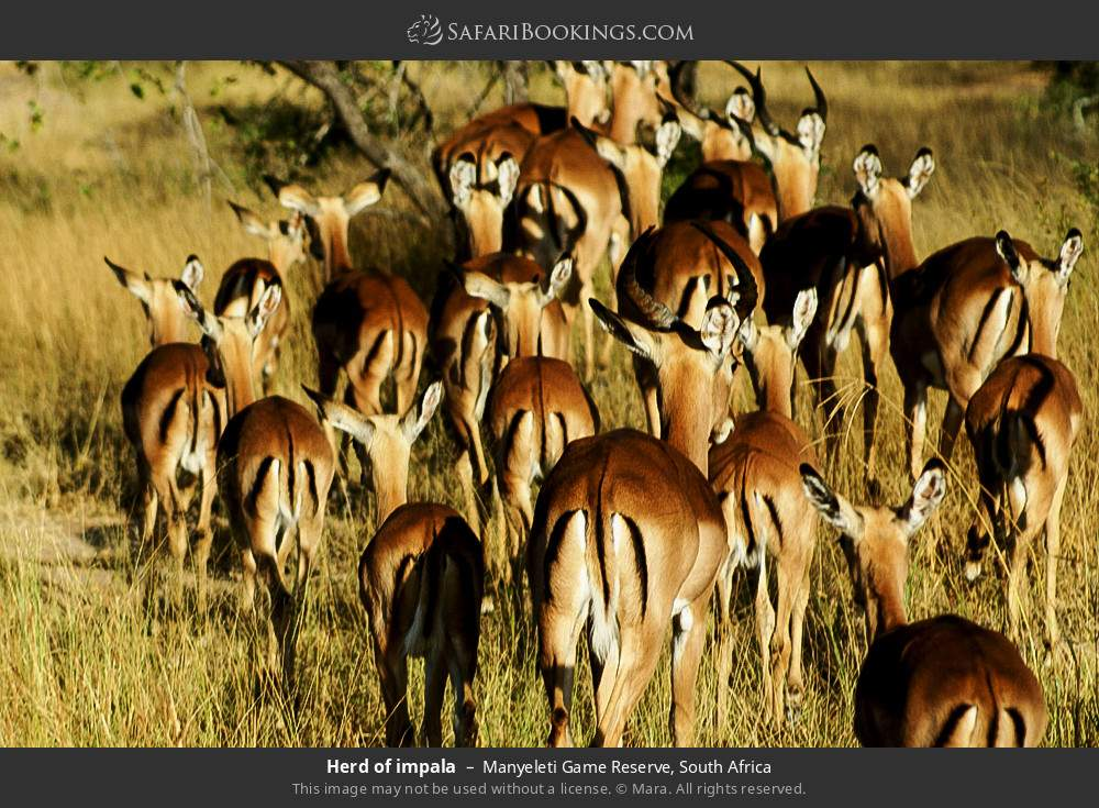 Herd of impala in Manyeleti Game Reserve, South Africa
