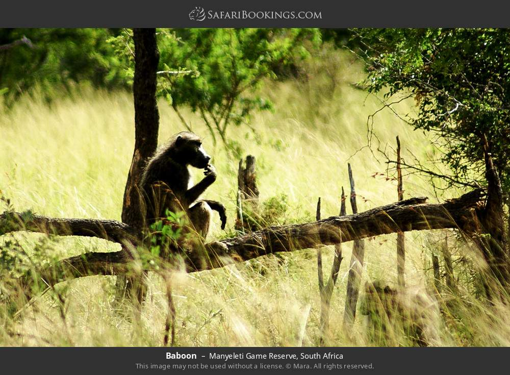 Baboon in Manyeleti Game Reserve, South Africa