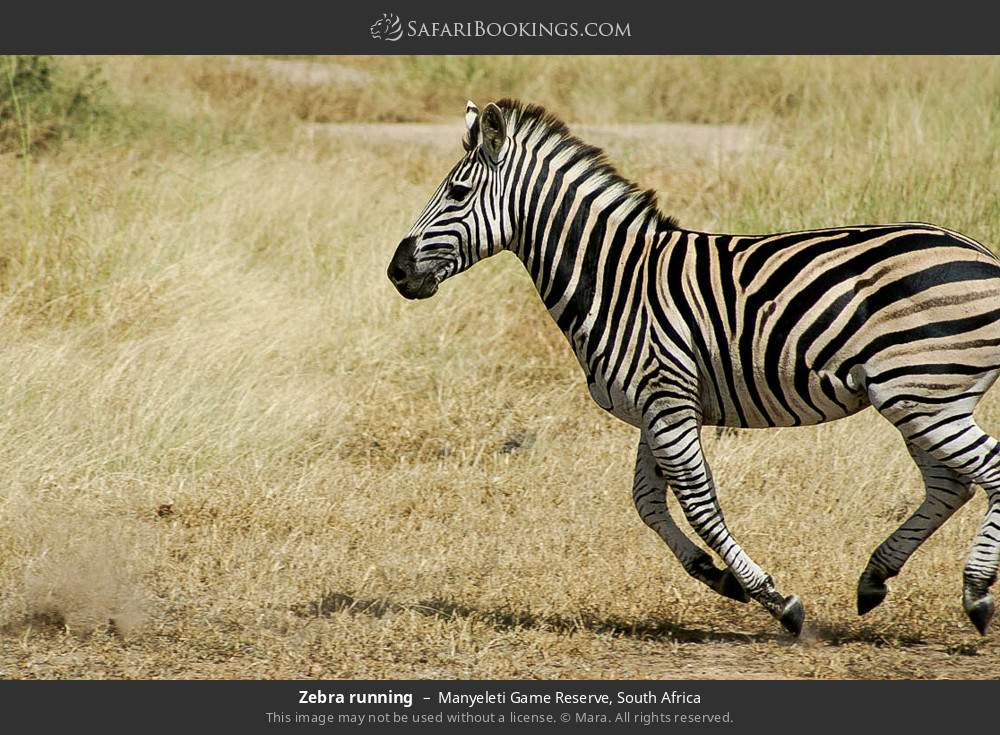 Zebra running in Manyeleti Game Reserve, South Africa