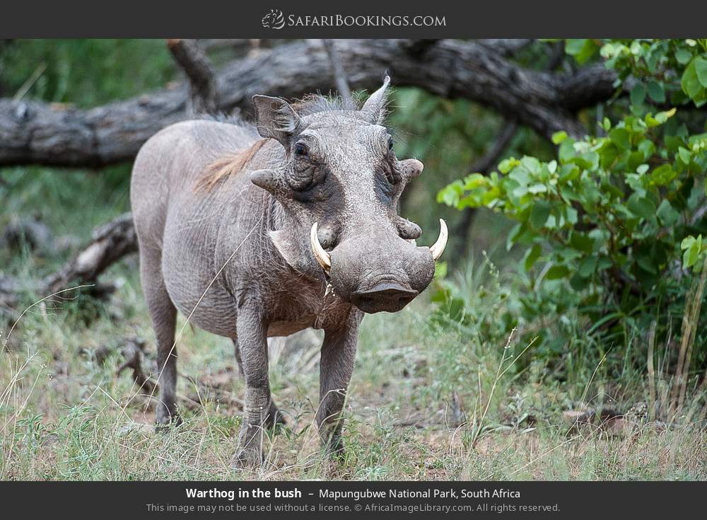 Warthog in the bush in Mapungubwe National Park, South Africa