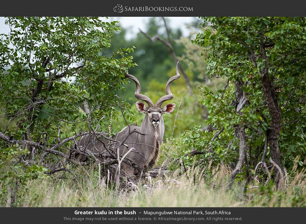 Greater kudu in the bush in Mapungubwe National Park, South Africa