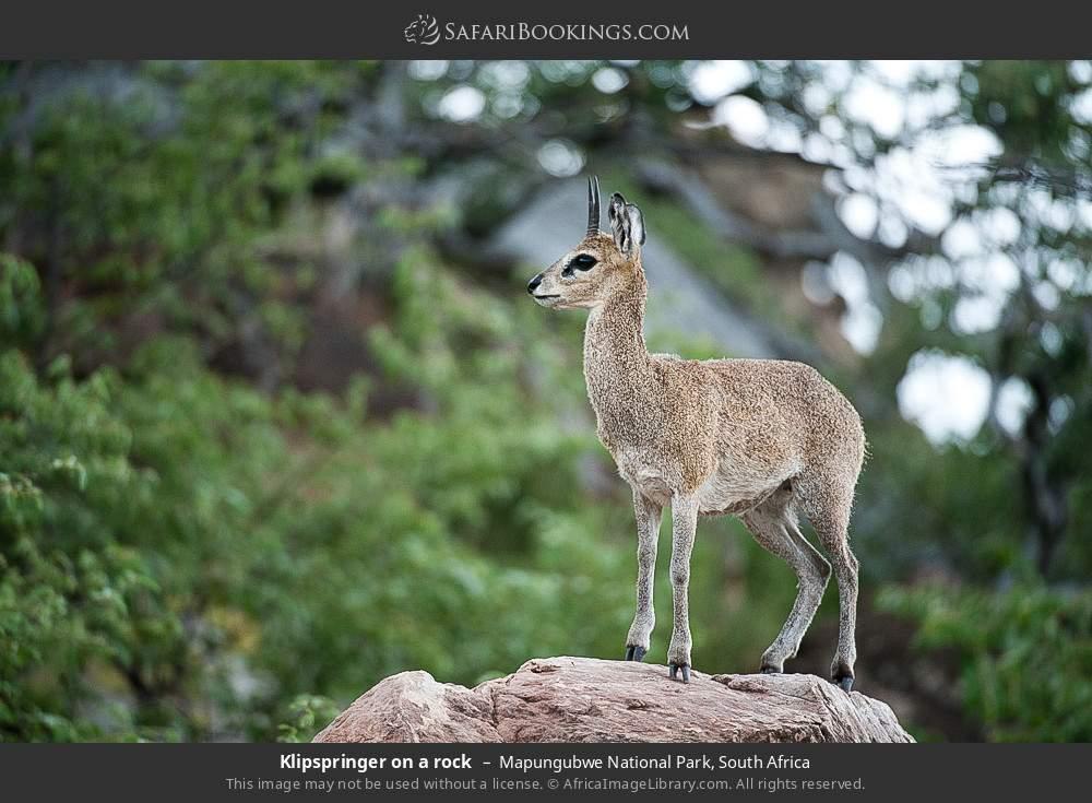 Klipspringer on a rock in Mapungubwe National Park, South Africa
