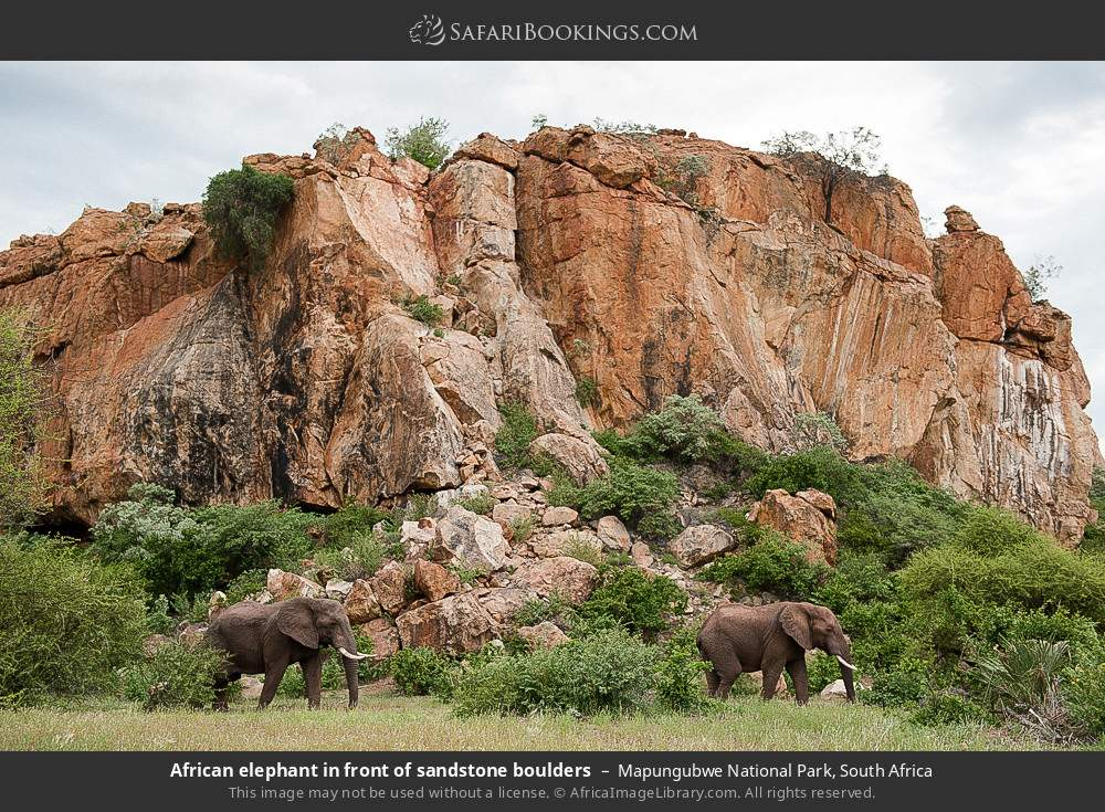 African elephant in front of sandstone boulders in Mapungubwe National Park, South Africa