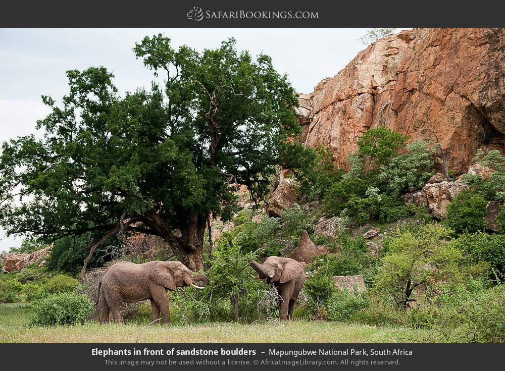 Elephants in front of sandstone boulders in Mapungubwe National Park, South Africa