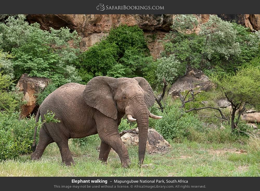 Elephant walking in Mapungubwe National Park, South Africa