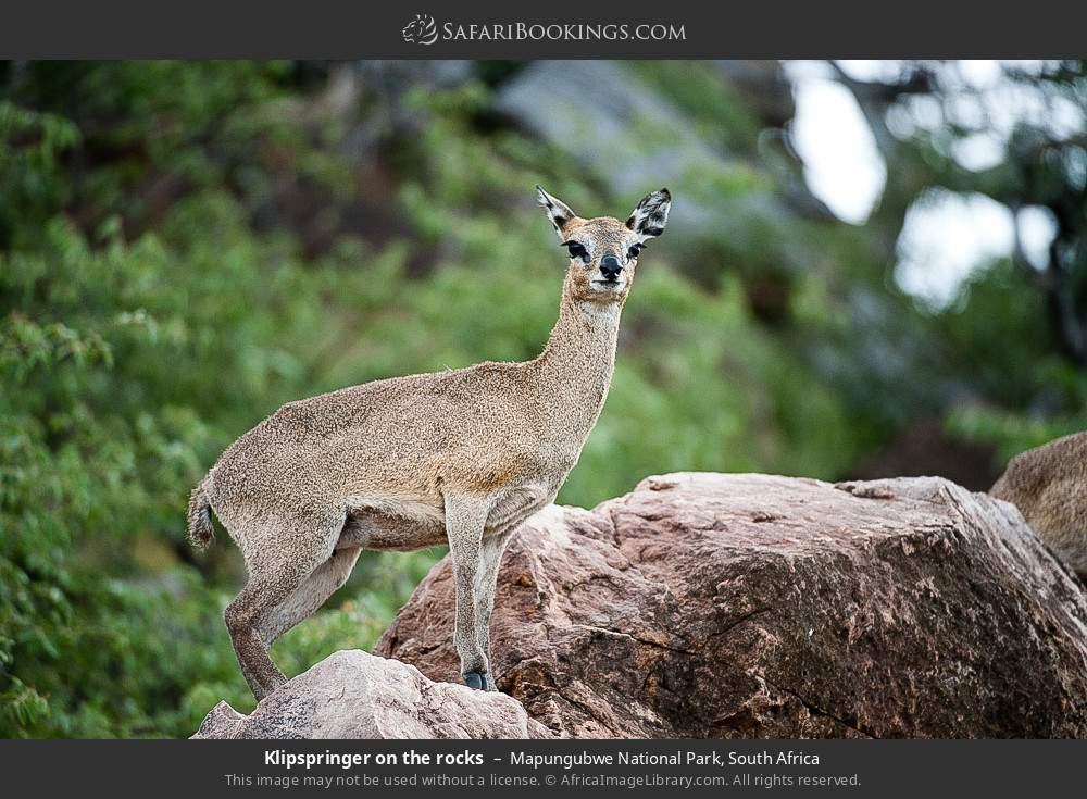 Klipspringer on the rocks in Mapungubwe National Park, South Africa
