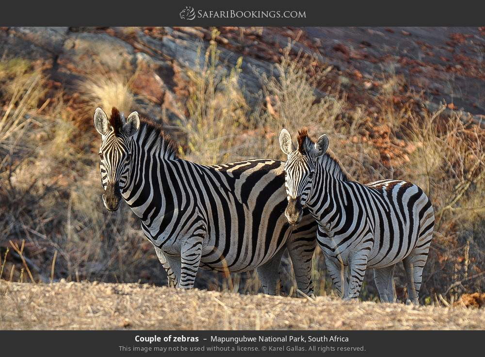 Couple of zebras in Mapungubwe National Park, South Africa