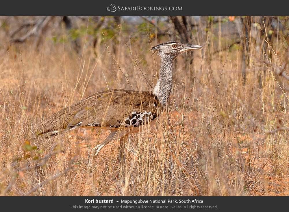 Kori bustard in Mapungubwe National Park, South Africa
