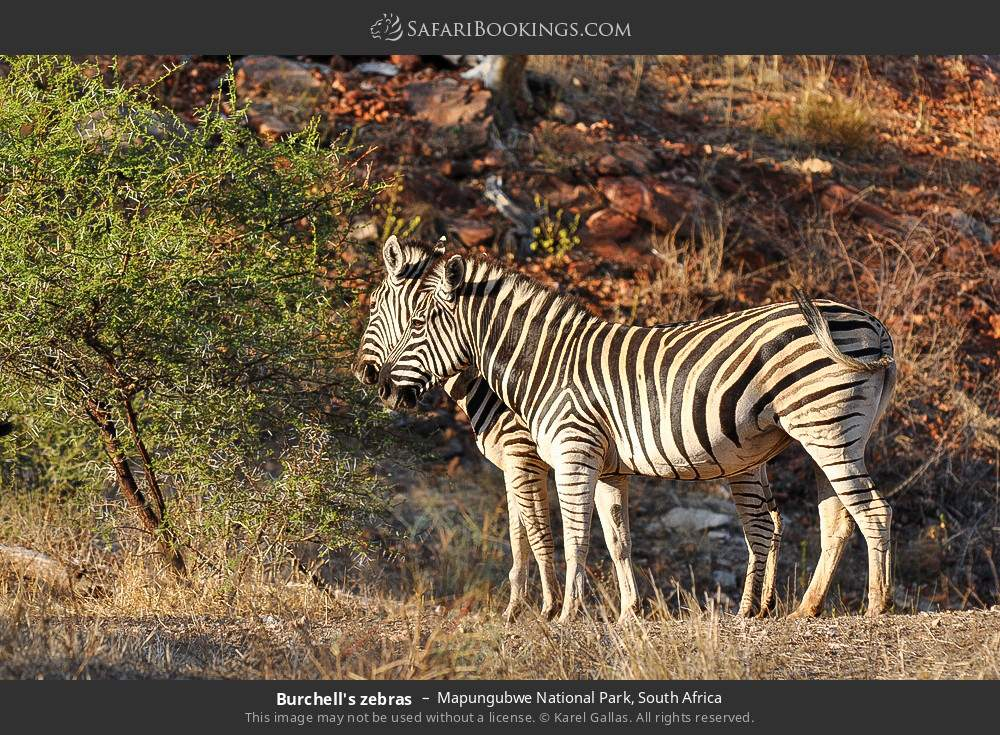 Burchell's zebras in Mapungubwe National Park, South Africa