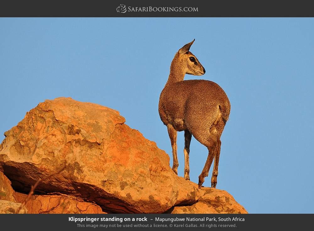 Klipspringer standing on a rock in Mapungubwe National Park, South Africa
