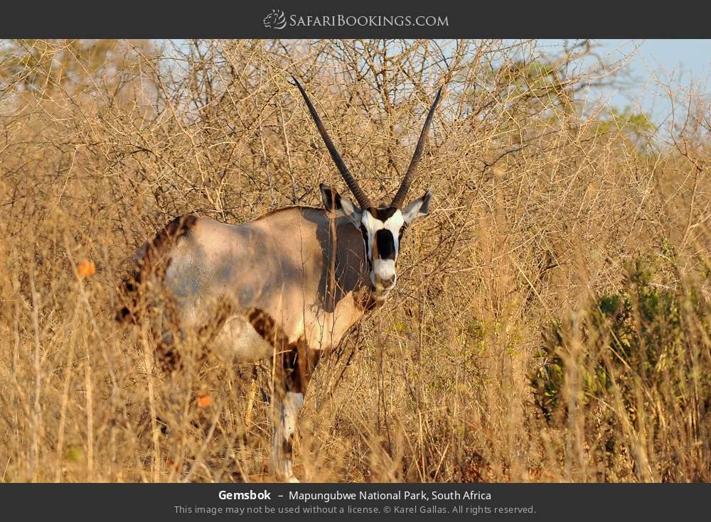 Gemsbok in Mapungubwe National Park, South Africa