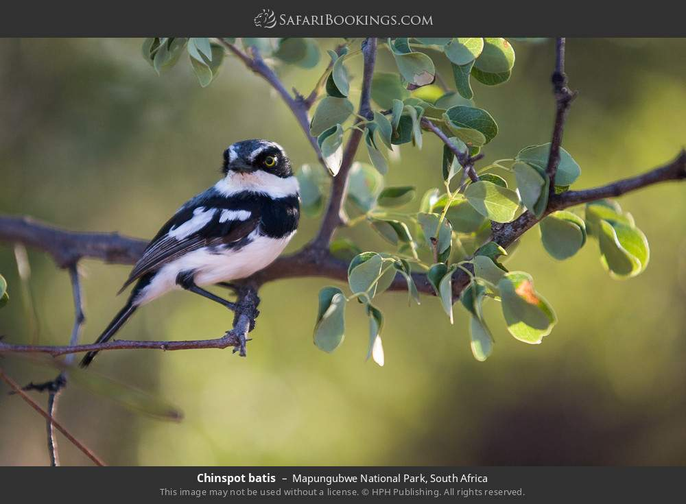 Chinspot batis in Mapungubwe National Park, South Africa