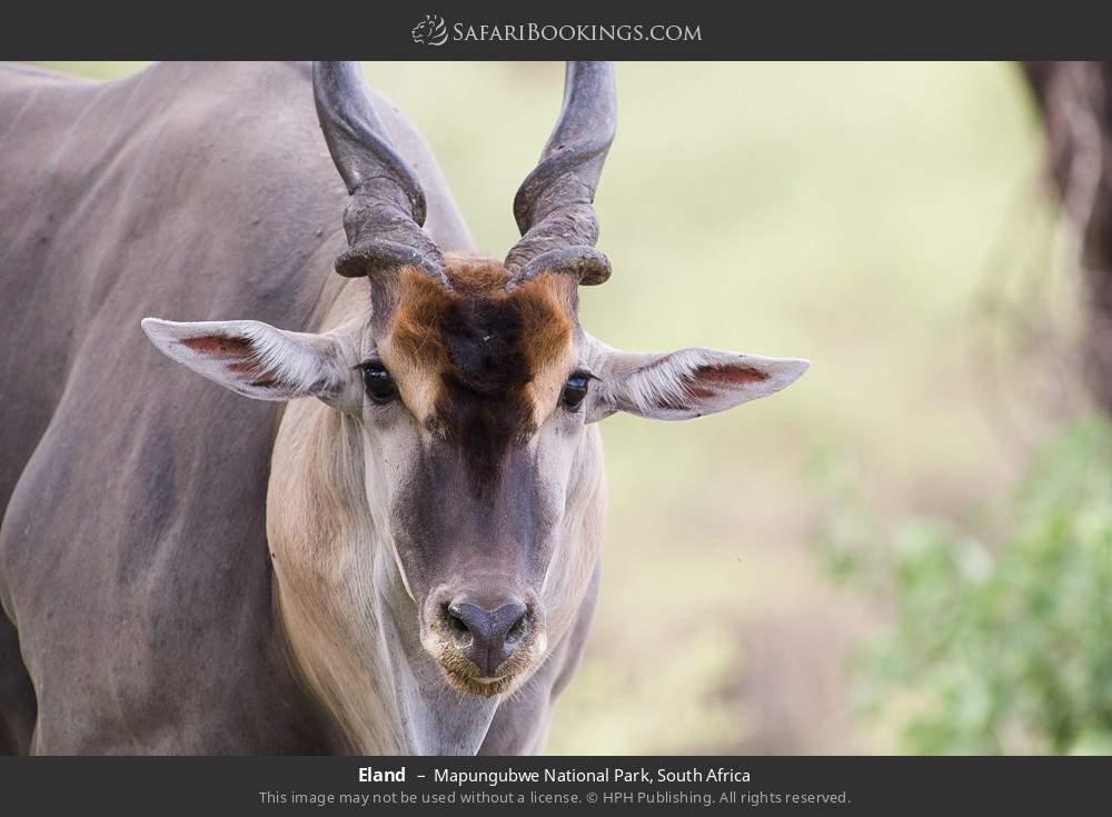 Eland in Mapungubwe National Park, South Africa