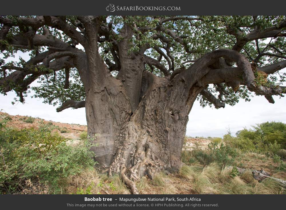 Baobab tree in Mapungubwe National Park, South Africa