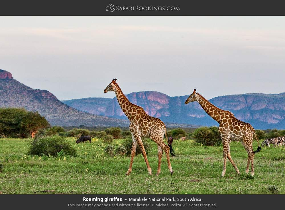 Roaming giraffes in Marakele National Park, South Africa