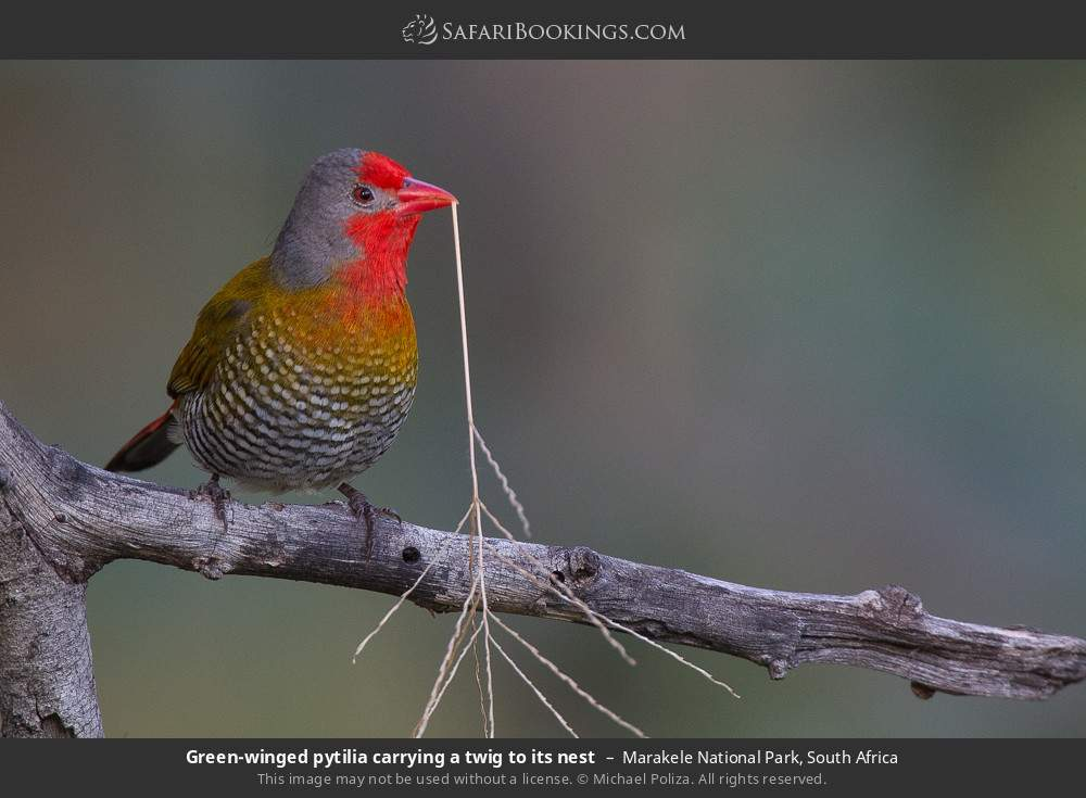 Green-winged pytilia carrying a twig to its nest in Marakele National Park, South Africa