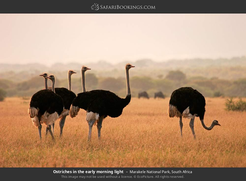 Ostriches in the early morning light in Marakele National Park, South Africa
