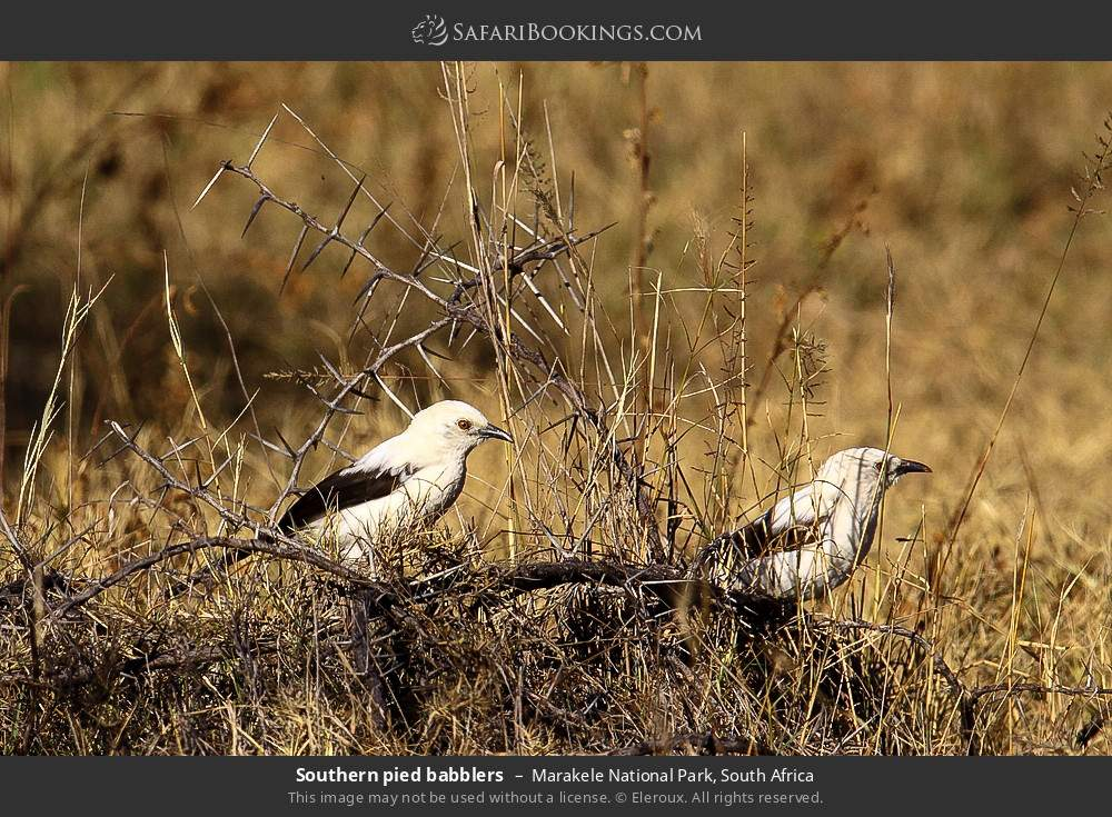 Southern pied babblers in Marakele National Park, South Africa