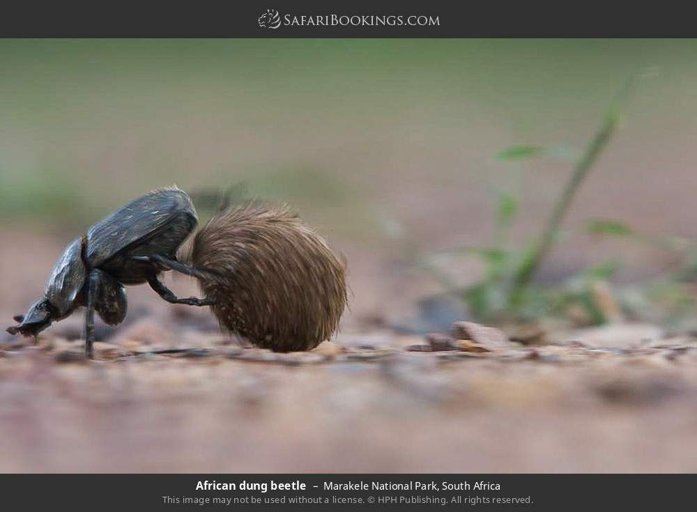 African dung beetle in Marakele National Park, South Africa