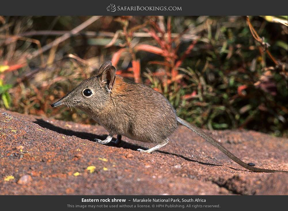 Eastern rock shrew in Marakele National Park, South Africa