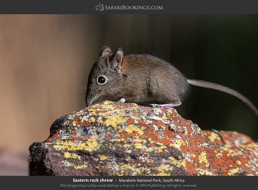 Eastern rock shrew in Marakele National Park, South Africa