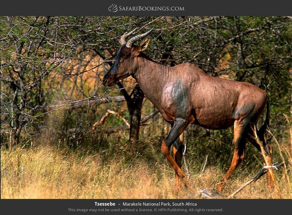 Tsessebe in Marakele National Park, South Africa