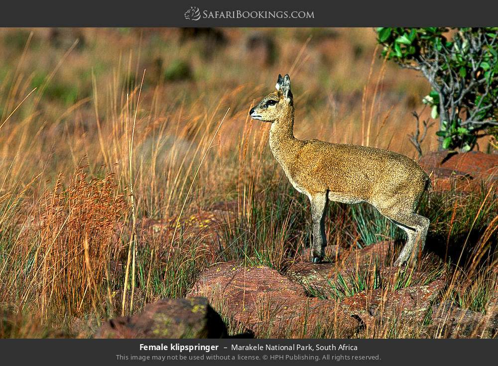 Female klipspringer in Marakele National Park, South Africa