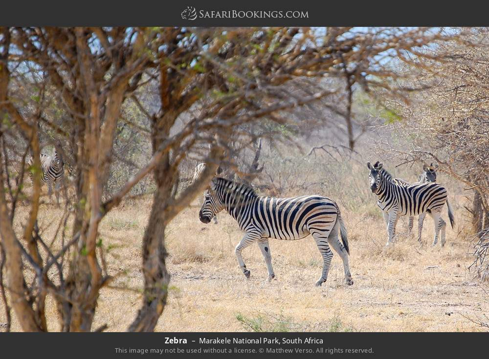 Zebra in Marakele National Park, South Africa