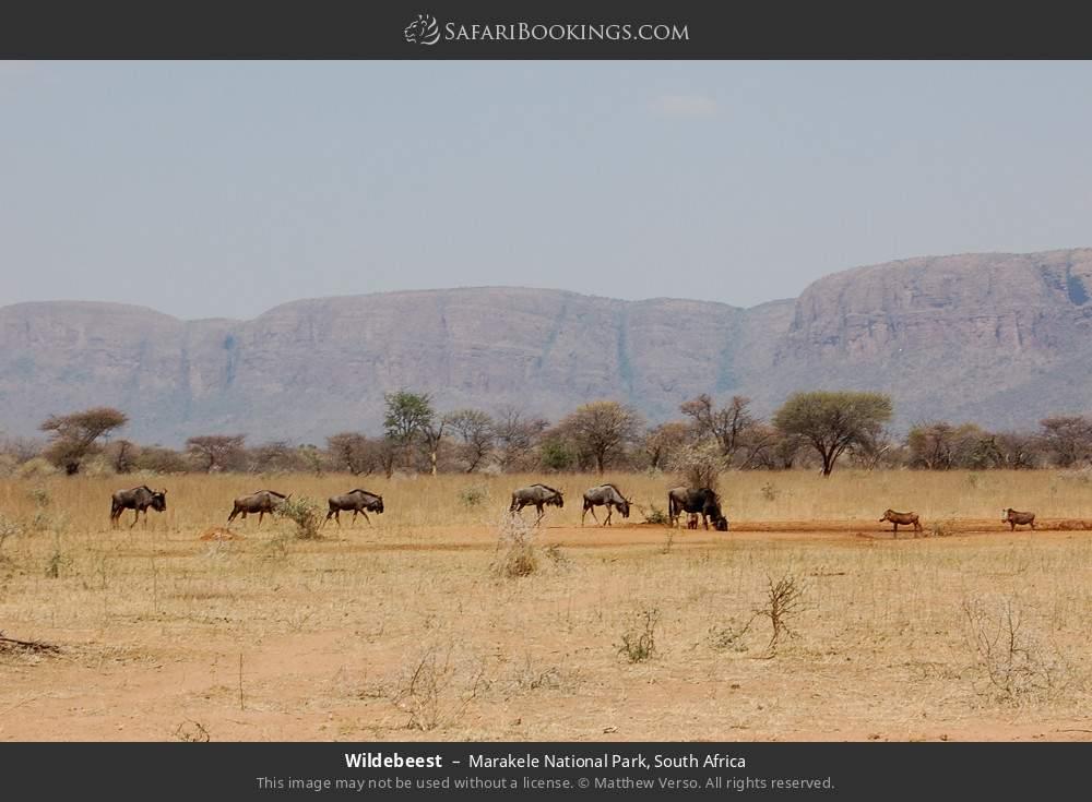 Wildebeest in Marakele National Park, South Africa