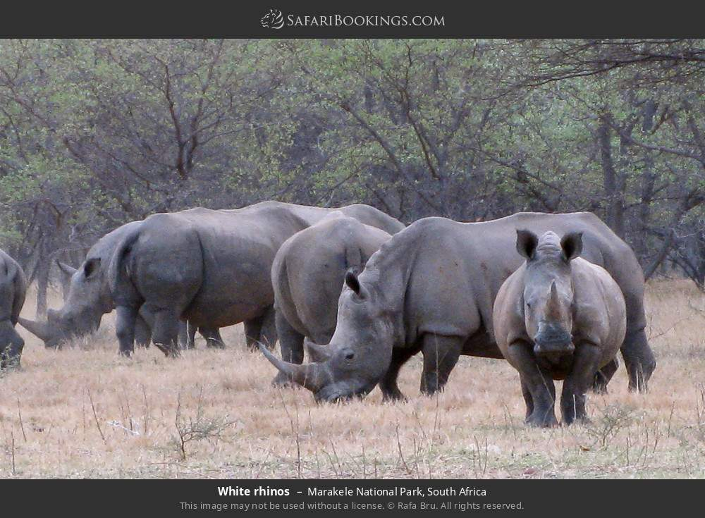White rhinos in Marakele National Park, South Africa