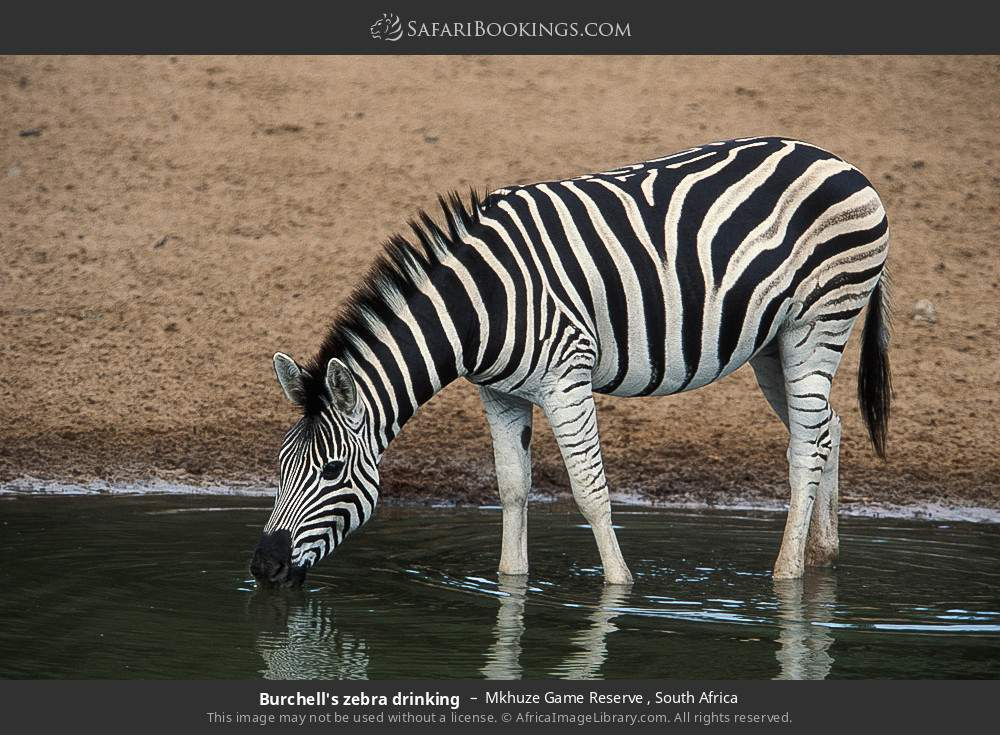 Burchell's zebra drinking in Mkhuze Game Reserve , South Africa