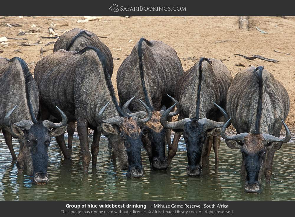 Group of blue wildebeest drinking in Mkhuze Game Reserve , South Africa