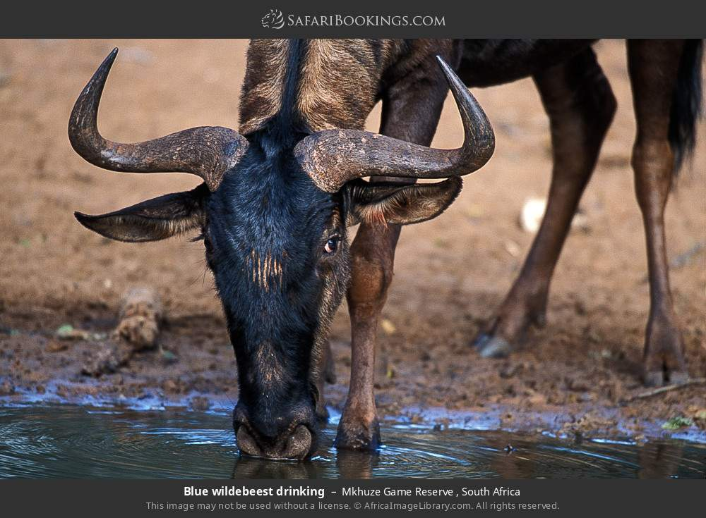 Blue wildebeest drinking in Mkhuze Game Reserve , South Africa