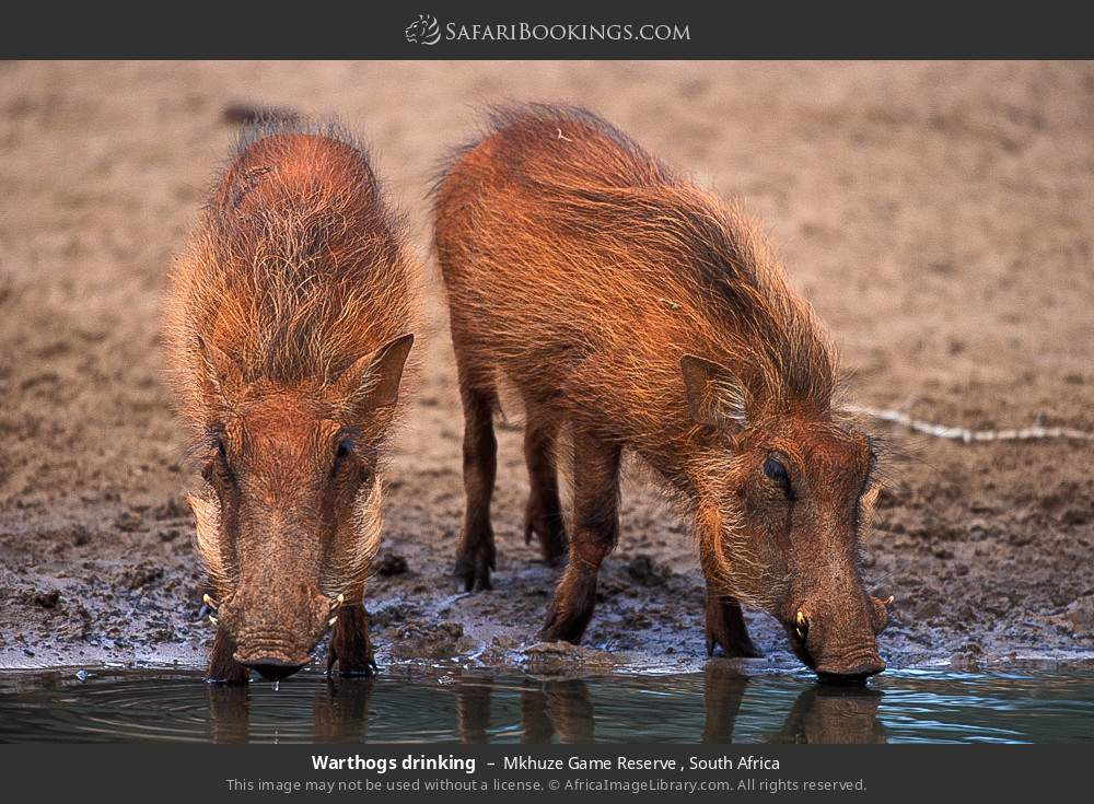 Warthogs drinking in Mkhuze Game Reserve , South Africa