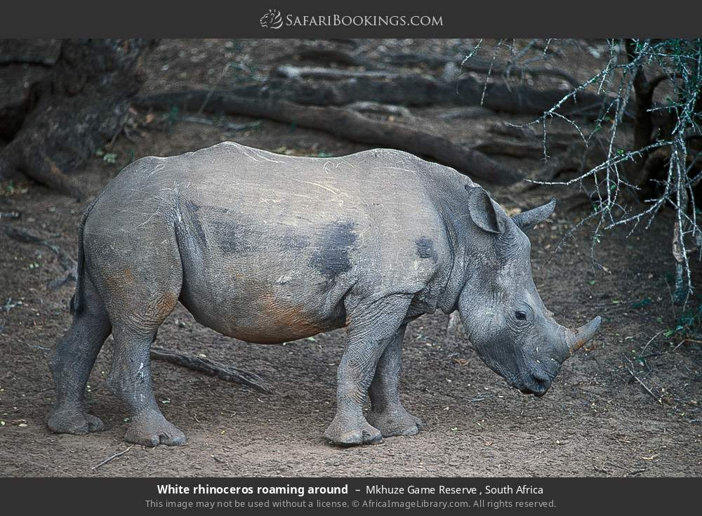 White rhinoceros roaming around in Mkhuze Game Reserve , South Africa