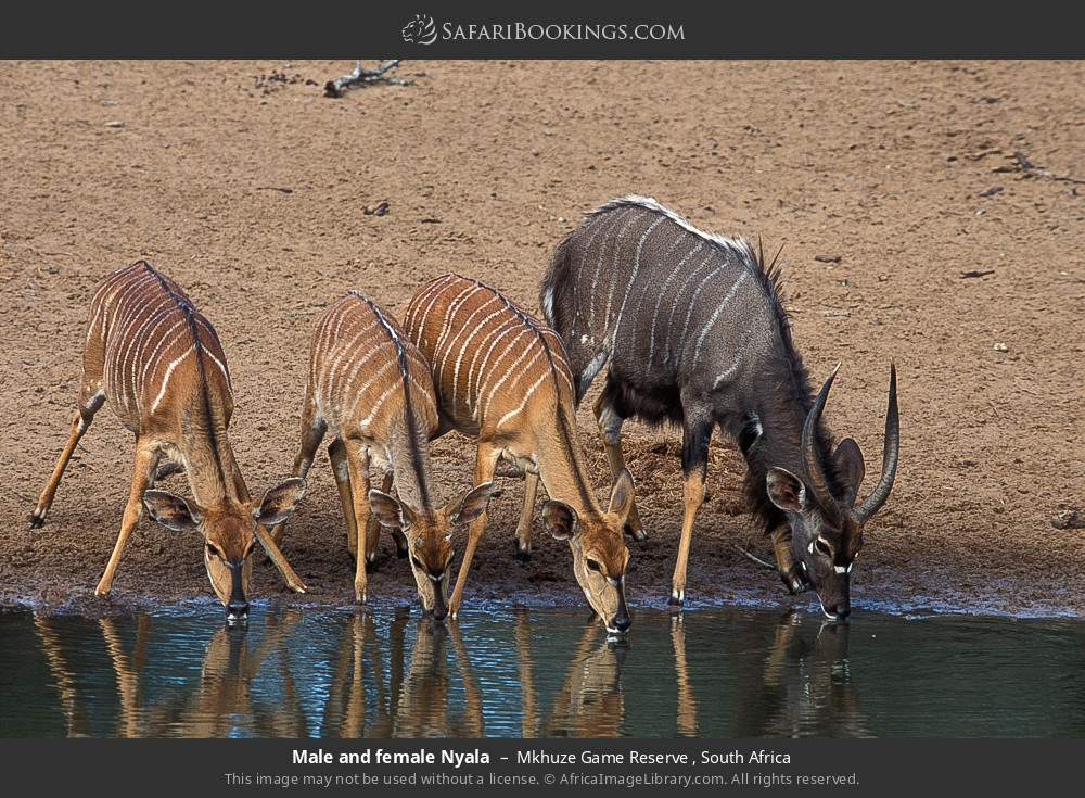 Male and female Nyala in Mkhuze Game Reserve , South Africa