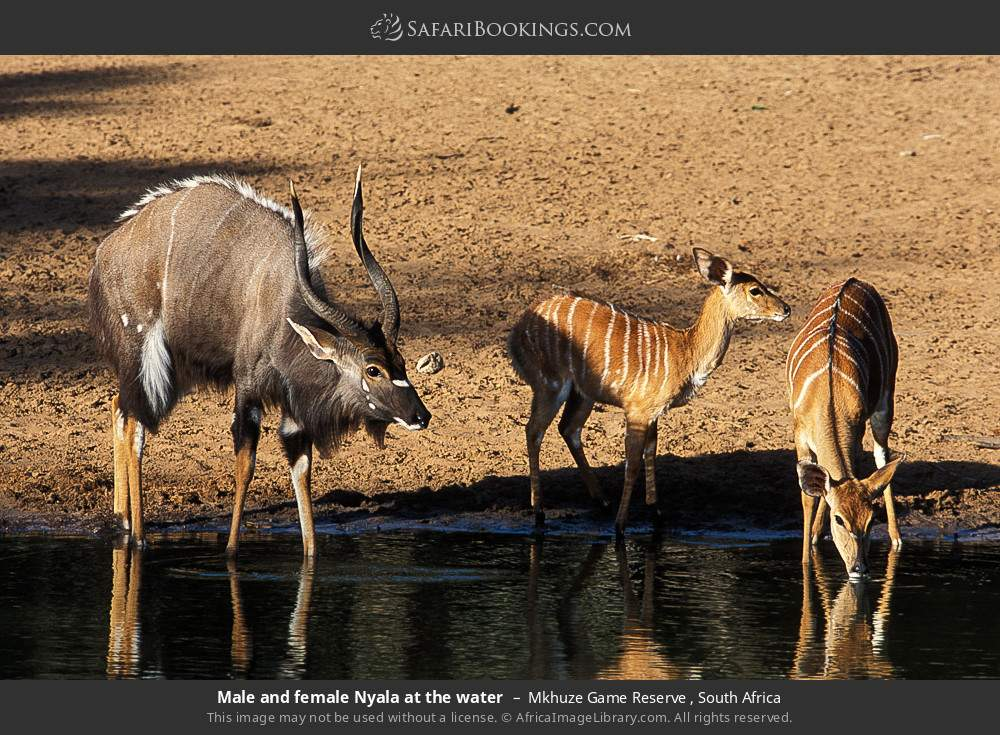 Male and female Nyala at the water in Mkhuze Game Reserve , South Africa