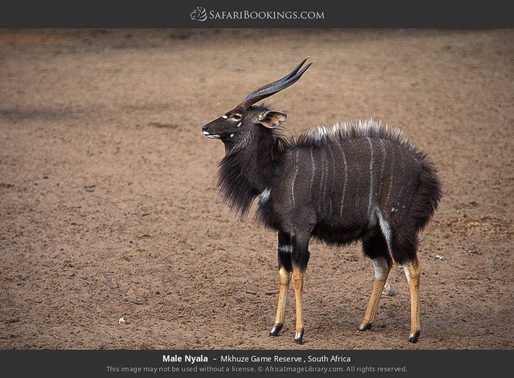 Male Nyala in Mkhuze Game Reserve , South Africa