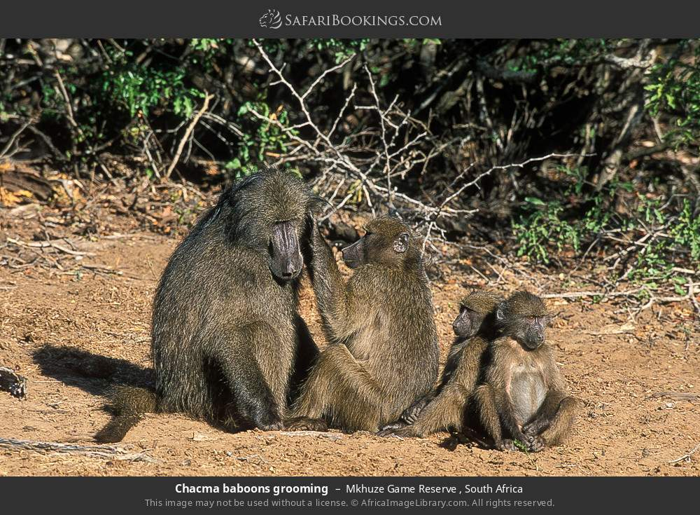 Chacma baboons grooming in Mkhuze Game Reserve , South Africa
