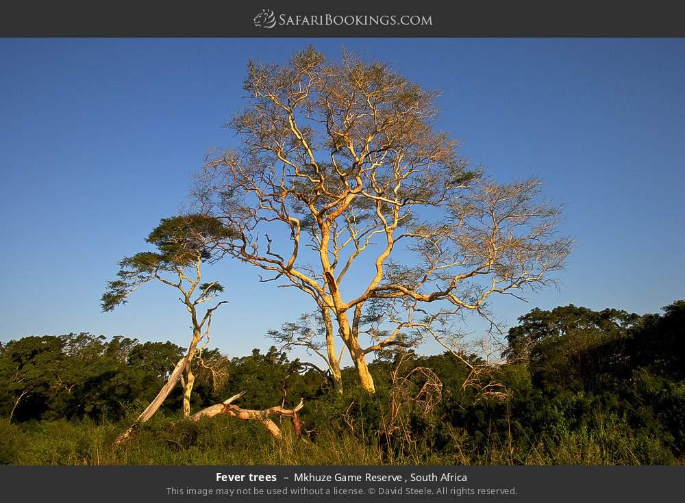 Fever trees in Mkhuze Game Reserve , South Africa