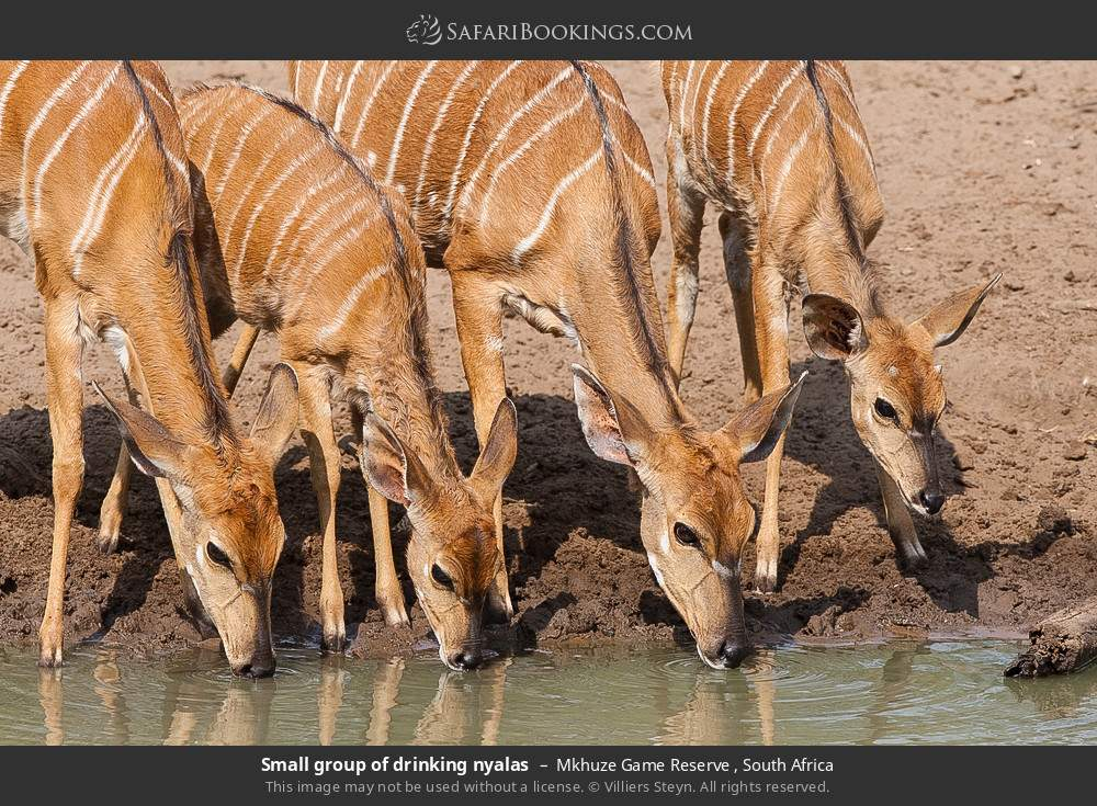 Small group of drinking nyalas in Mkhuze Game Reserve , South Africa