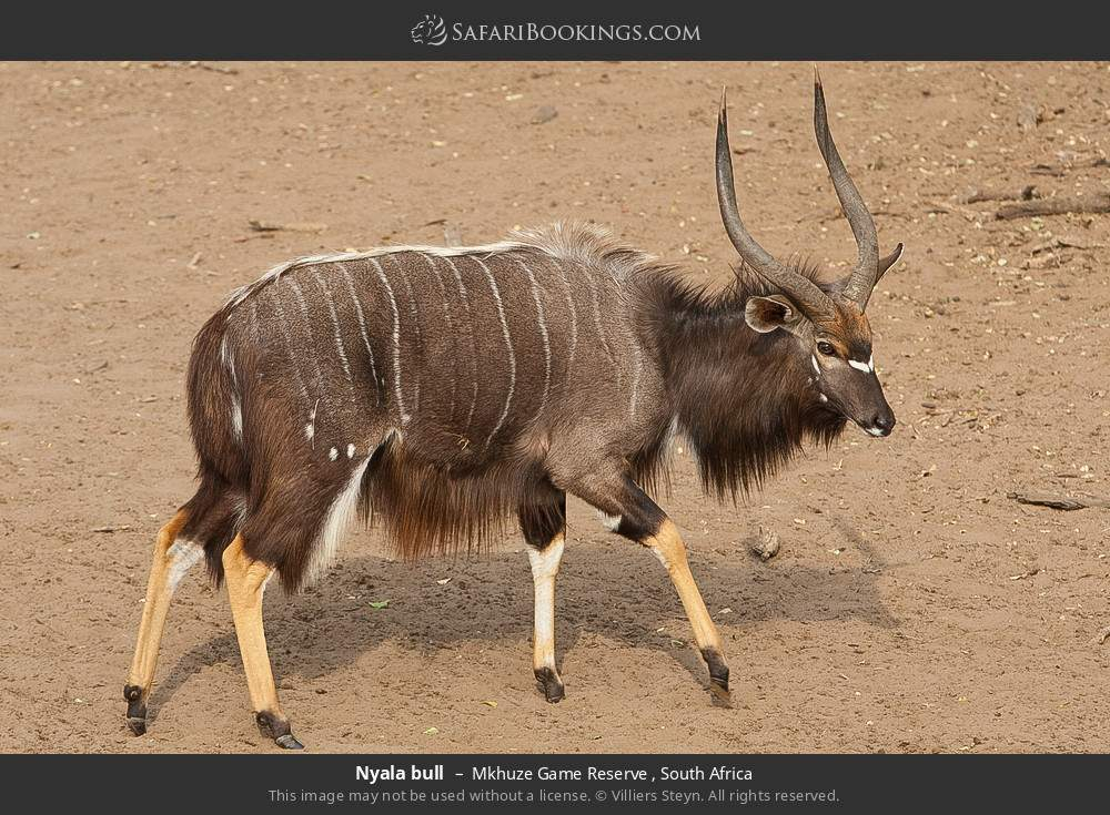 Nyala bull in Mkhuze Game Reserve , South Africa
